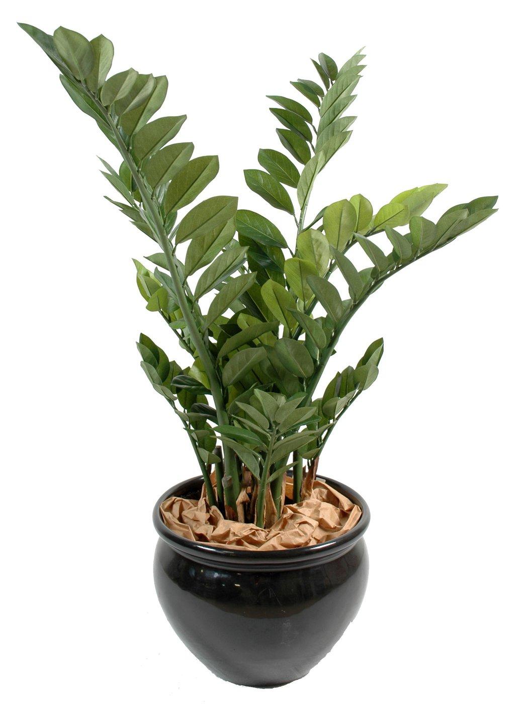 Planta zamia tropicais ingarden for Planta ornamental zamia